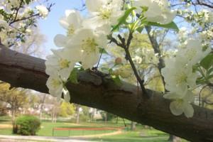 maplewood-maplecrest_blossom1